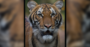 Tiger tests positive for COVID-19 at New York City zoo, first case of its kind in U.S.